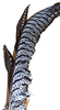 Amherst Pheasant complete tail